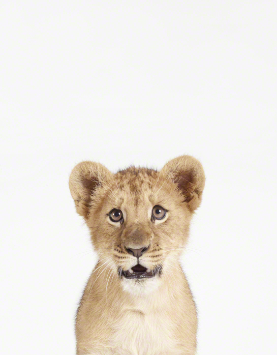 Baby Animal Photography Pictures Lion Cub